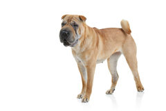 De hond van Sharpei Stock Fotografie
