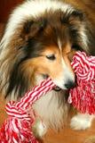 De hond van Sheltie met kabel royalty-vrije stock fotografie