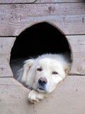 De hond van Shepard Royalty-vrije Stock Afbeeldingen