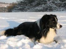 De hond van Shepard - Border collie Royalty-vrije Stock Foto's