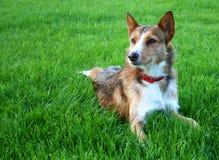 De hond van Sheperd Royalty-vrije Stock Foto