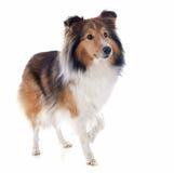 De hond van Shetland stock afbeeldingen