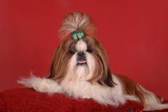 De hond van shi-Tsu op het kussen Stock Foto's
