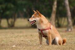 De hond van Shiba Royalty-vrije Stock Afbeeldingen