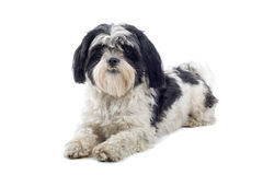 De hond van shih-Tzu Stock Foto