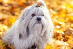 De hond van Shihtzu Stock Afbeeldingen