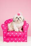 De hond van Shihtzu op roze stoel Stock Foto