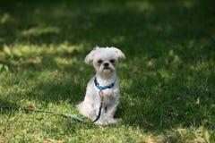 De hond van Shitsu die aan leiband wordt gebonden Royalty-vrije Stock Afbeelding