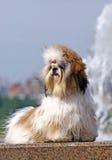 De hond van Shitzu op granietparapette met fontan Stock Foto