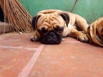 De hond van de slaapschoonheid stock afbeeldingen
