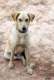 De hond van Thailand Royalty-vrije Stock Foto's