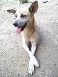 De hond van Thailand Stock Afbeelding