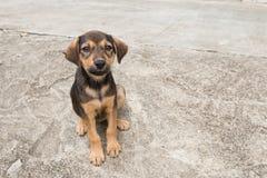 De hond van Thailand stock afbeeldingen
