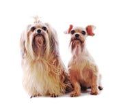 De hond van Tzu van Shih royalty-vrije stock afbeeldingen