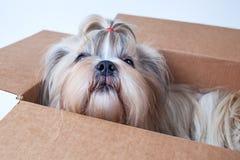 De Hond van Tzu van Shih royalty-vrije stock foto's