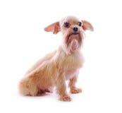 De hond van Tzu van Shih in studio stock foto's