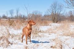 De hond van Vizsla (Hongaarse wijzer) op een sneeuwgebied. Stock Fotografie