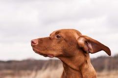 De Hond van Vizsla op een Winderige Dag Stock Afbeelding