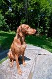 De Hond van Vizsla van de zitting (Hongaarse Wijzer) Royalty-vrije Stock Afbeelding