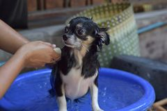 De hond van waschihuahua Stock Afbeeldingen