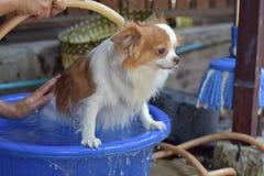 De hond van waschihuahua in ton Royalty-vrije Stock Afbeelding