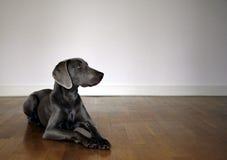 De hond van Weimaraner Stock Foto's