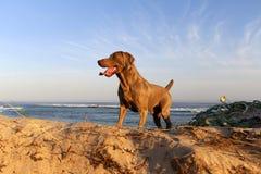 De hond van Weimaraner Royalty-vrije Stock Foto