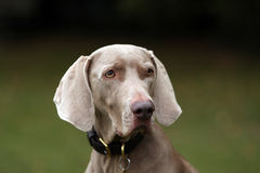 De hond van Weimaraner Stock Foto