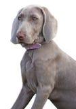 De hond van Weimaraner Stock Afbeeldingen
