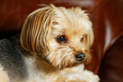 De Hond van York stock foto's