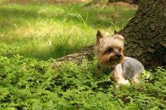 De Hond van Yorkshire royalty-vrije stock foto