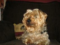 De hond van Yorkshire Terrier royalty-vrije stock afbeelding