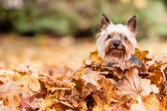 De hond van Yorkshire Terrier Royalty-vrije Stock Foto's