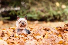 De hond van Yorkshire Terrier Royalty-vrije Stock Foto
