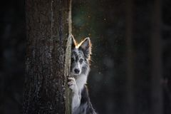 De hond verbergt achter een boom Border collie in het hout in de winter Gang met uw huisdier stock foto's