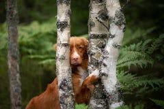 De hond verbergt achter een boom Natte Scots Retriever in aard Gang met huisdier, toller stock afbeeldingen