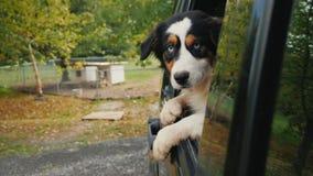 De hond verlaat de dierlijke schuilplaats Kijkt uit het autoraam, op de achtergrond, kooien en cabines met honden goedkeuring royalty-vrije stock foto