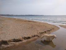 De hond is vers op het strand stock foto