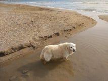 De hond is vers op het strand royalty-vrije stock foto