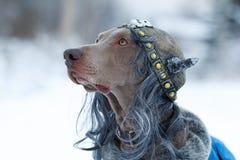 De hond Viking van Weimaraner Royalty-vrije Stock Fotografie