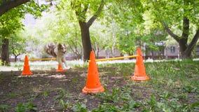 De hond vliegt over de barrière Collie in behendigheid, een sprong over de hindernis stock footage