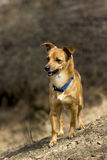 De hond voor een gang Royalty-vrije Stock Fotografie