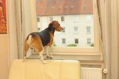 De hond wacht Stock Afbeeldingen