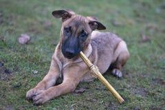 De hond wil spelen Stock Fotografie