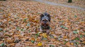 De hond yorkie herfst Royalty-vrije Stock Foto