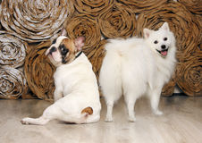 De hond zal niet over de lengte van its…staart opscheppen! Royalty-vrije Stock Fotografie