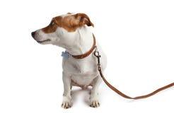 De hond zette een leiband met een kraag aan royalty-vrije stock afbeelding