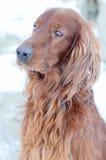 De hond ziet eruit. Royalty-vrije Stock Afbeelding