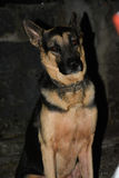 De hond zit Royalty-vrije Stock Foto