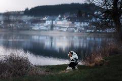 De hond zit door het meer Australische herder in aard Huisdierengang stock foto